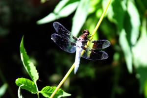 Dragonfly8882WEB