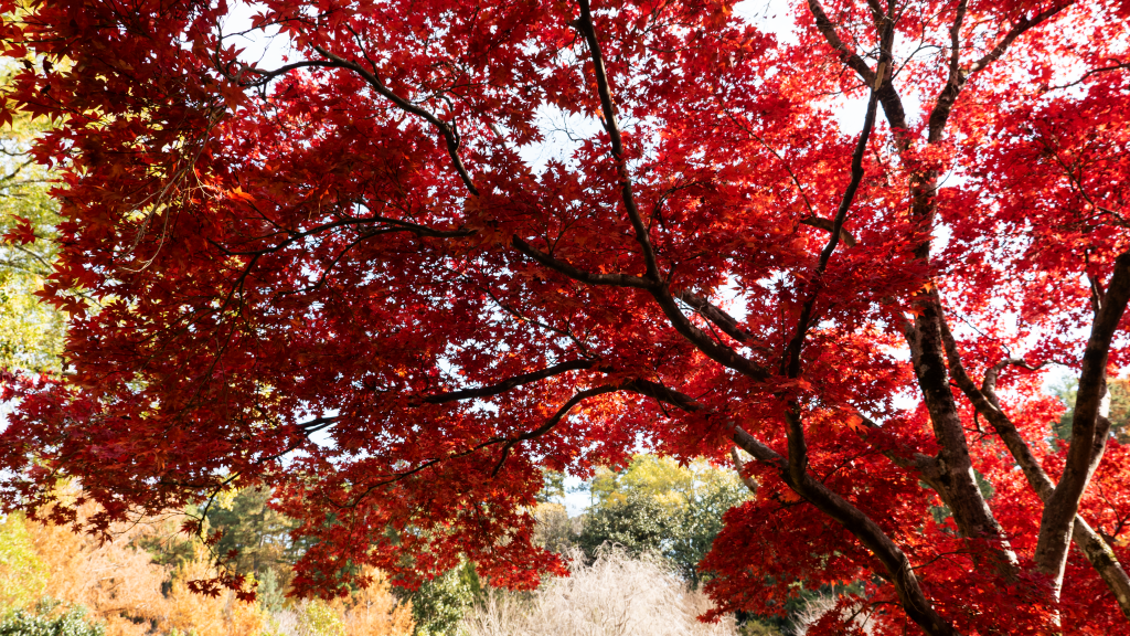 Duke-Gardens-Red-Tree-P1480060