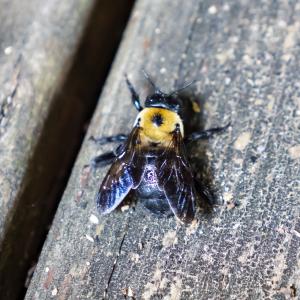 Bumble Bee P1630252