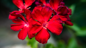 Red_Flowers_P1640105