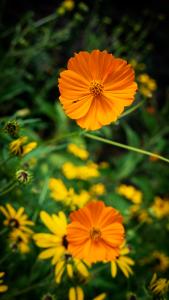 Wildflower_orange_P1640008